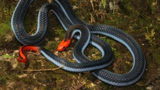 Long-glanded blue coral snake