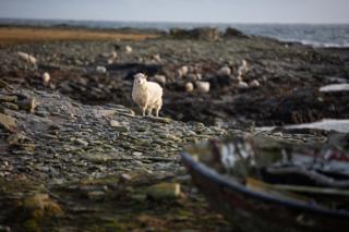 Sheep on North Ronaldsay foreshore