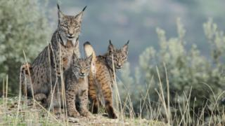Female lynx with cubs (July 2015)