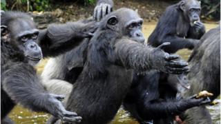 Chimpancés en Liberia