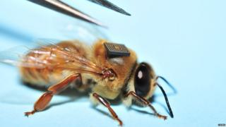 A bee with a micro sensor glued to its back