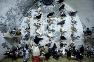 Pigeons are seen in a coop