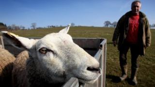 Farmer inspecting sheep in back of trailer