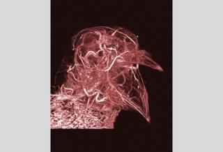 Pigeon thermoregulation