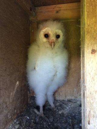 One of the four barn owl chicks that were ringed by BirdWatch Ireland at a traditional nest site in Kerry in July 2015