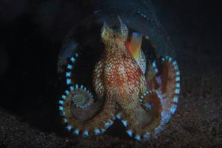 Coconut octopus at night seen off Anilao, Philippines
