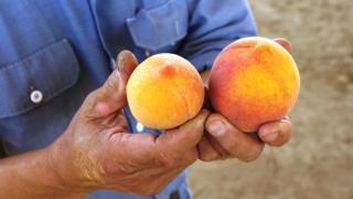 Two peaches in someone's hands