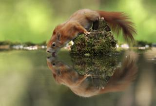 Thirsty Squirrel by