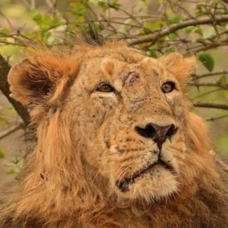 Lion Ram
