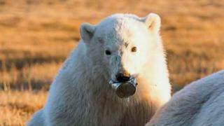 Filho de urso-polar com lata presa na boca