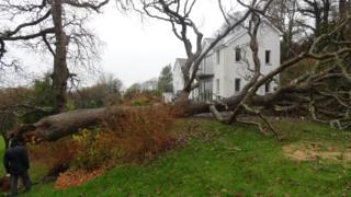 A huge oak tree has fallen to the ground beside a large white house. A man and a dog are looking at the roots.