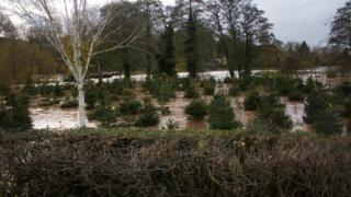 Growing christmas trees with tags on are in a flooded field. Trees and grey skies behind.
