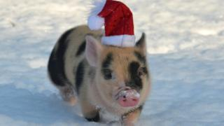 A tiny pig wearing a santa hat runs through the snow.