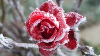 A red rose is covered in frost.
