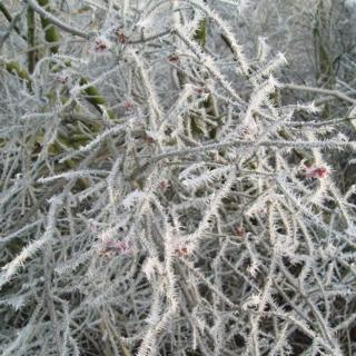 Spiked frost on lots of branches. Red berries can just about be seen in the frost.