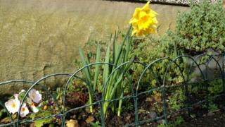 Two yellow daffodils in a flower bed shine in the sun.