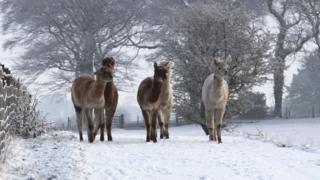 Five alpacas walking towards the camera in a snowy field. Behind are snow covered trees.