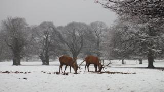 Two deer with antlers are eating from the ground. Around them is a snowy park scene and large white trees.