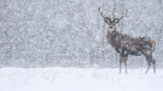 A stag stares directly at the camera in the falling snow.