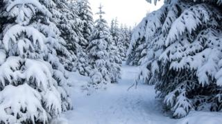 A winter wonderland scene of a forest of fir trees covered in lots of snow.