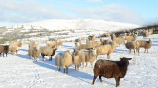Sheep standing in a snowy field. Behind are hills and fields covered in snow.
