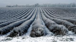 A field with rows and rows of lavender plants is covered in frost and snow.