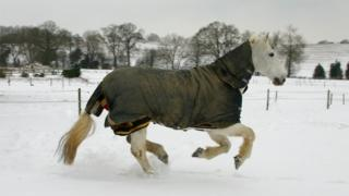 A white (but covered) horse gallops in a snowy field.