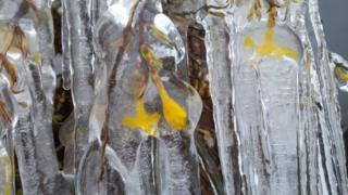 Small yellow flowers on branches are frozen in clear ice.