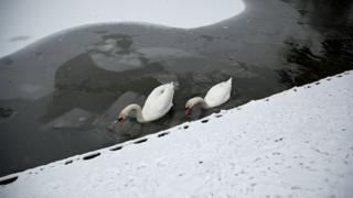 Two swans swim around ice. Either side is snow.