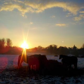 Horses eating in a snowy field. Behind is a warming sunrise.