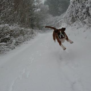 A boxer dog leaping through the air on a snow filled country lane.