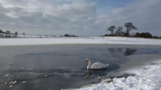 A lone swan swims around ice in a lake. Behind are snowy fields and trees.
