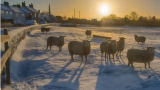 Sheep in a snowy field looking at the camera. Behind the sun is rising.