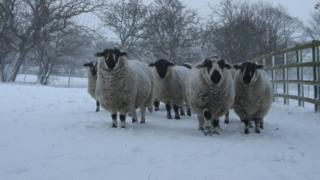 A ram and ewes in a snowy field. The snow is falling. Trees behind are also in snow.