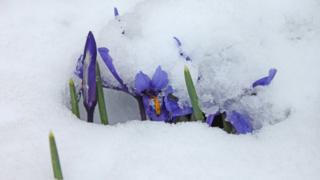 Purple flowers covered in snow.
