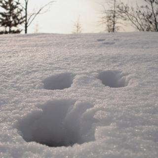 Close up shot of footprints in the snow. Trees in the distance.