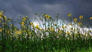 Yellow rape seed crop with grey cloud behind.