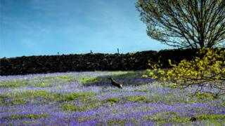 A dear jumps in a field of bluebells. Behind is a stone wall and clear blue sky, interrupted by a tree on the right.