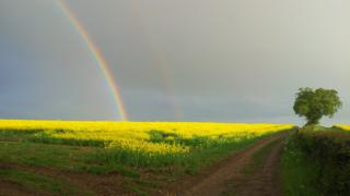 A field of yellow rape seed oil plants. A rainbow and lone tree stand against a grey sky.