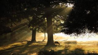 Rays of sunlight shine through trees. A deer is eating from the ground.