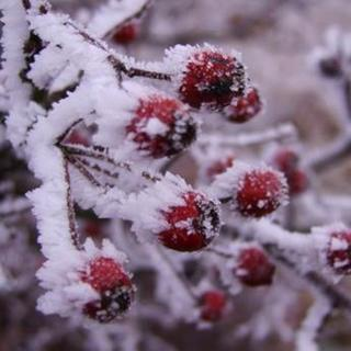 A close up shot of frost on red berries.