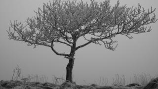Hoar frost on a tree. Grey, foggy background behind it.