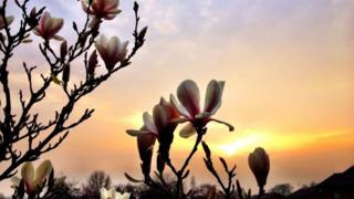 Pink and white Magnolia flowers in the foreground. A yellow and hazy pink sky behind as the sun sets.
