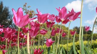 Bright pink tulips with their petals open towards the sun. Trees, blue sky and a little cloud behind.