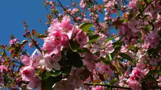 A close up of pink blossom, with blue sky behind.