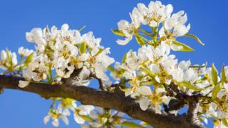 White blossom on a branch, against a blue sky.