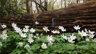 White and purple flowers in a wood, a large fallen tree trunk behind.