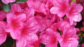 Rain droplets on large pink blossom flowers.