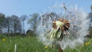 Large dandelion in foreground in a vast green field lined with trees. Blue skies behind.