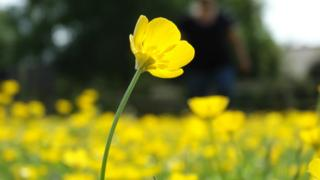 A single yellow buttercup in the foreground, blurred yellow buttercups behind.